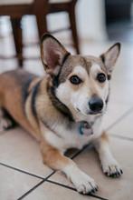 Portrait Of Corgi Husky Mix Dog