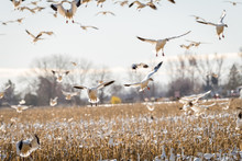 Snow Geese Come In For A Landing Over A Corn Field Spring Time