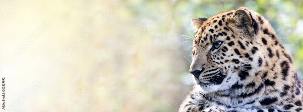 Amur leopard in sunlight
