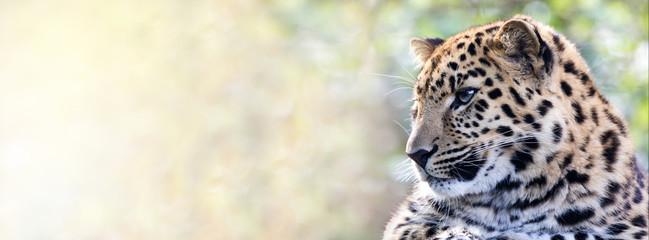 FototapetaAmur leopard in sunlight