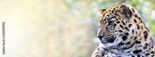 Door stickers Leopard Amur leopard in sunlight