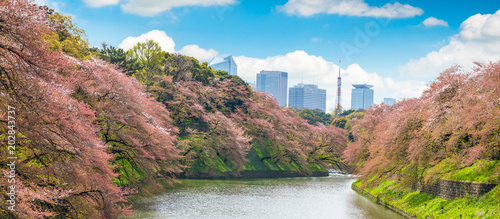 Poster Tokio Sakura tree at Kitanomaru Garden. japan landscape. Cherry Blossoms in Tokyo with Tokyo Tower on background