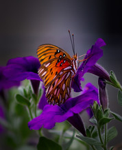 Portrait Of Gulf Fritillary Butterfly In Petunias