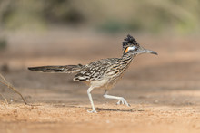 Greater Roadrunner In Southern Texas, USA