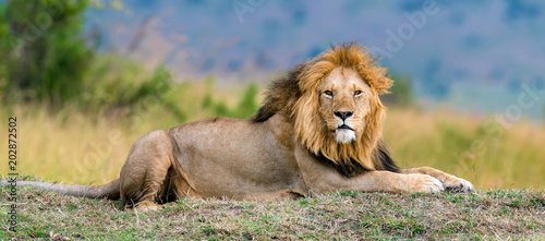 Fotografía  Lion male in National park of Kenya