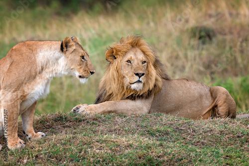 Fototapety, obrazy: Lion in National park of Kenya