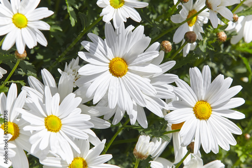 Foto op Canvas Madeliefjes Daisy flowers detail in the garden. Sunny day. Springtime