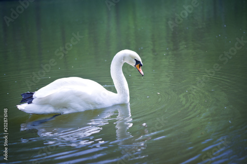 Foto op Canvas Zwaan White swan on a pond in Tsaritsyno park.