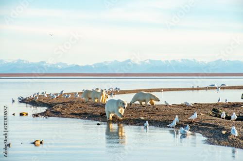 北極海の入り江を歩くホッキョクグマ
