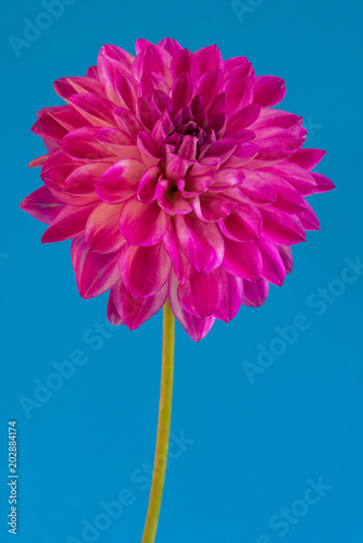 Foto op Canvas Dahlia Image of the flower dahlia on blue background