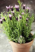 Vintage Style Flower Pot And Potted Lavender Plants.