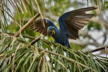 Hyacinth Macaw On A Palm Tree ...