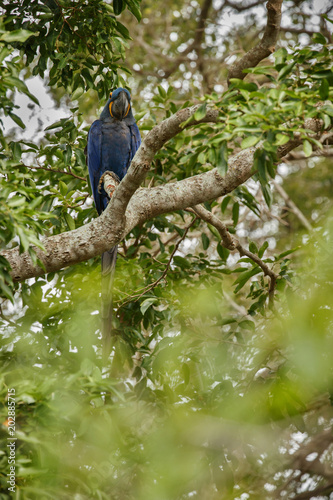 hyacinth macaw on a palm tree in the nature habitat, wild brasil, brasilian wild Slika na platnu