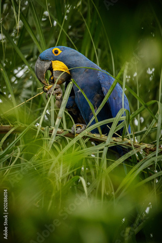 Fotografija  hyacinth macaw on a palm tree in the nature habitat, wild brasil, brasilian wild