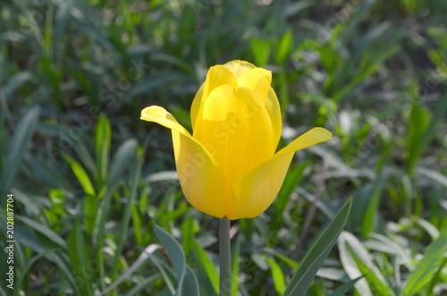 Тюльпан Strong Gold. Желтый тюльпан в саду