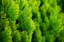 Conifer Of Fresh Green In The ...