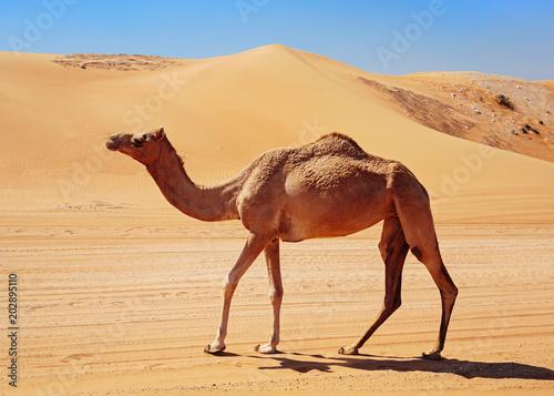 Poster Chameau camel in the desert