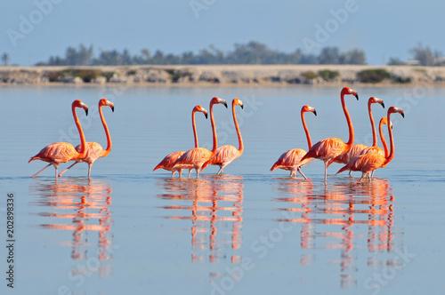 Foto op Aluminium Flamingo A row of American flamingos (Phoenicopterus ruber ruber American Flamingo) in the Rio Lagardos, Mexico.