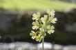Schlüsselblume - Primula elatior - im Gegenlicht