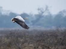 A Bar Headed Goose Flying Away...