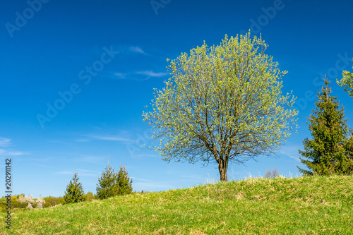 In de dag Bomen Spring tree in bloosom on green meadow under the blue sky