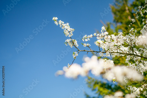 Fotobehang Bomen Apple tree flowers In the beginning of spring