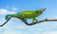 Chameleon Trioceros Jacksonii ...