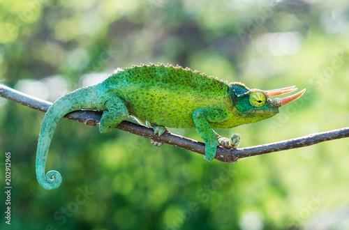 Poster Chamaleon Chameleon trioceros jacksonii xantholophus from Keyna, also called Jackson's horned chameleon or Kikuyu three-horned chameleon