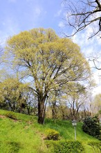 Old Hackberry In A Park. Nature Background.