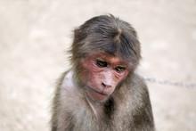Young Monkey Sad, Monkey Sad,