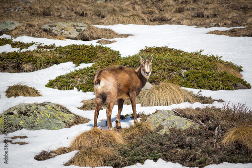 Photo  The alpine chamois with a strange horn