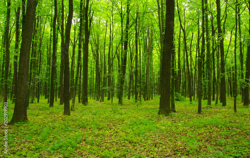 Fototapeten Wald Forest trees in spring
