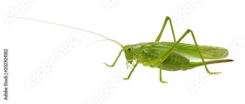 Fotografia, Obraz Green locust on white