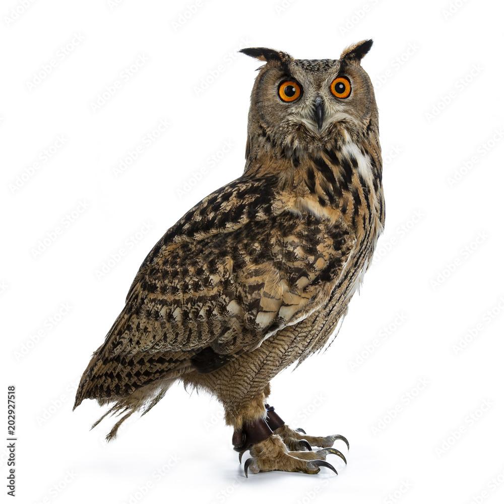 Fototapety, obrazy: Turkmenian Eagle owl / bubo bubo turcomanus sitting side ways isolated on white background looking over shoulder in lens