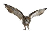 Turkmenian Eagle Owl / Bubo Bu...