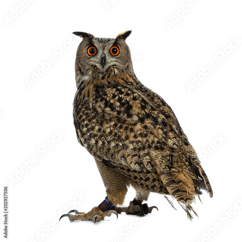 Deurstickers Uil Turkmenian Eagle owl / bubo bubo turcomanus sitting isolated on white background looking over shoulder in lens