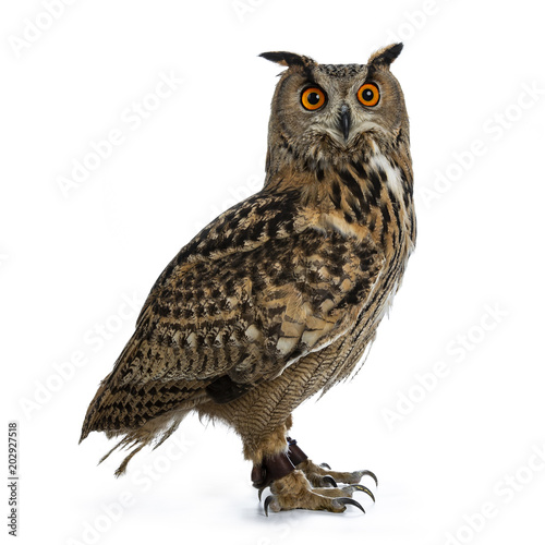 Spoed Foto op Canvas Uil Turkmenian Eagle owl / bubo bubo turcomanus sitting side ways isolated on white background looking over shoulder in lens