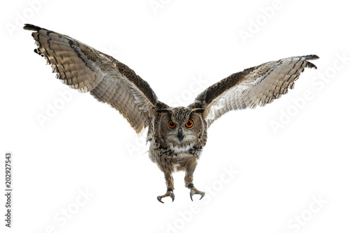 Spoed Fotobehang Uil Turkmenian Eagle owl / bubo bubo turcomanus in flight / landing isolated on white background looking at lens