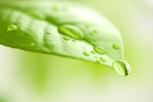 Green Leaf With Water Drops In...