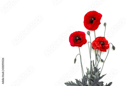 Flowers red poppies (Papaver rhoeas, common names: corn poppy, corn rose, field poppy, red weed) on a white background with space for text. Top view, flat lay.