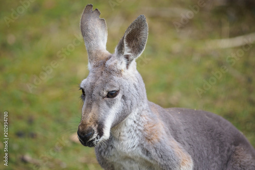 Portrait of a kangaroo (Macropus rufus)