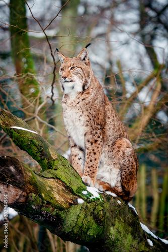 Staande foto Lynx Lynx, Eurasian wild cat