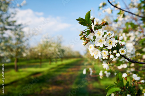 Branch of a blossoming cherry tree, spring flowers.