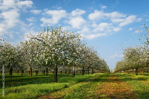 Kwitnący sad czereśniowy