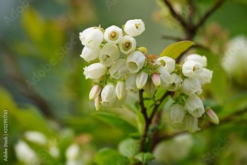 Blühende Heidelbeere