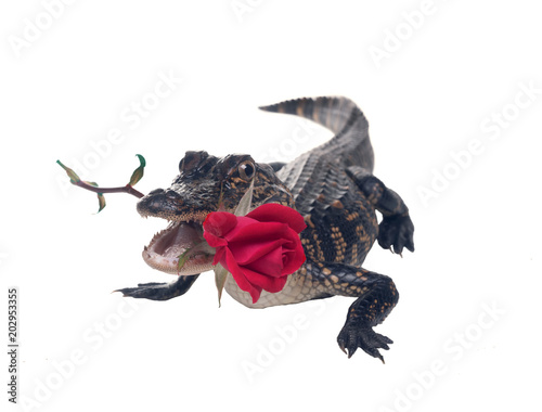 A young American alligator in a rose flower in the teeth.  Isolated on white background