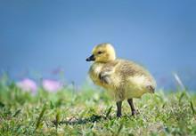 Cute Newborn Canada Goose Gosl...