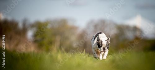 Deurstickers Franse bulldog French Bulldog on the walk