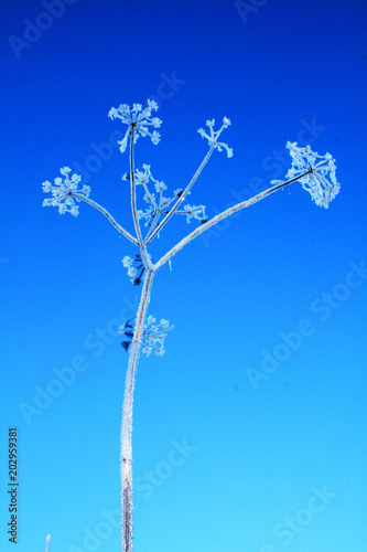Fotografie, Obraz  plante ombellifère givrée