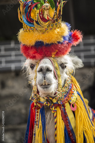 Foto op Canvas Lama Lama glama - llama animal in Ipiales- colombia